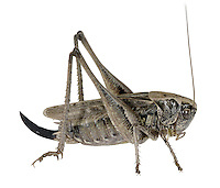 Grey Bush-cricket female - Platycleis albopunctata