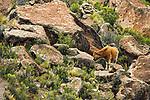 Domestic Cattle (Bos taurus) in boulder field, Ciudad de Piedra, Andes, western Bolivia