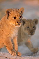 Portrait of two cute lion cubs in gorgeous light in Nxai Pan National Park Botswana