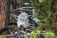01128-00214 Great Gray Owl (Strix nebulosa)  Yellowstone National Park, WY