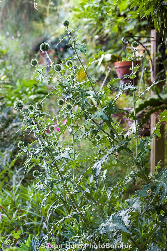 Echinops bannaticus, Globe thistle, Yanker-Hansen garden
