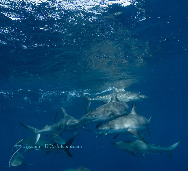 Silky shark at the surface. Sunlit sharks, Carcharhinus falciformis, Gardens of the Queen, Cuba