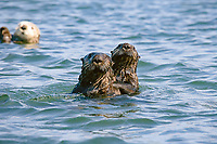 Hold On, California sea otters, Enhydra lutris nereis, Monterey, California, USA, Pacific Ocean