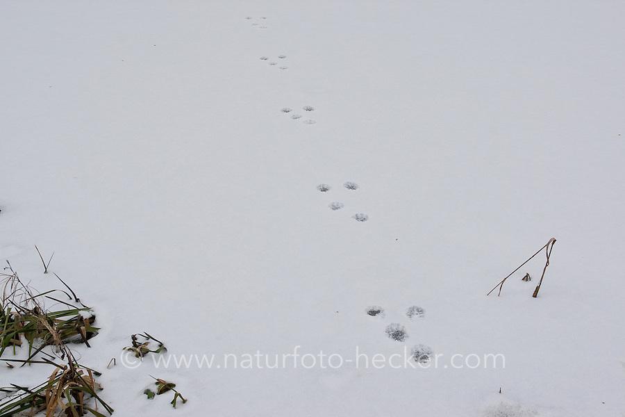 Steinmarder, Stein-Marder, Marder, Fährte, Spur im Schnee, Martes foina, beech marten, stone marten