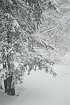 Snowstorm with Hemlock Tree