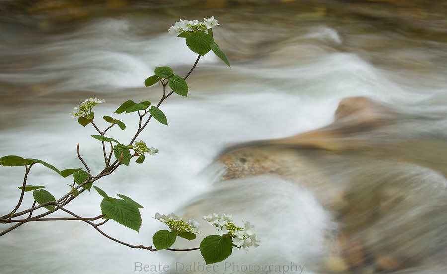 blooming hobblebush branches over a small stream in the White Mountains, New Hampshire