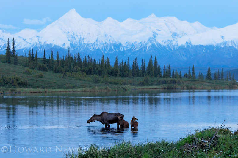 A mother Moose feeding in Wonder Lake as her timid newborn twins stay close.  Early summer in Denali National Park never gets dark at night.  This photograph was captured around 1 AM.