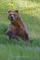 Alaska Brown Bear, Coastal Grizzly Grizzly Bear or brown bear alaska Alaska Brown bears also known as Costal Grizzlies or grizzly bears