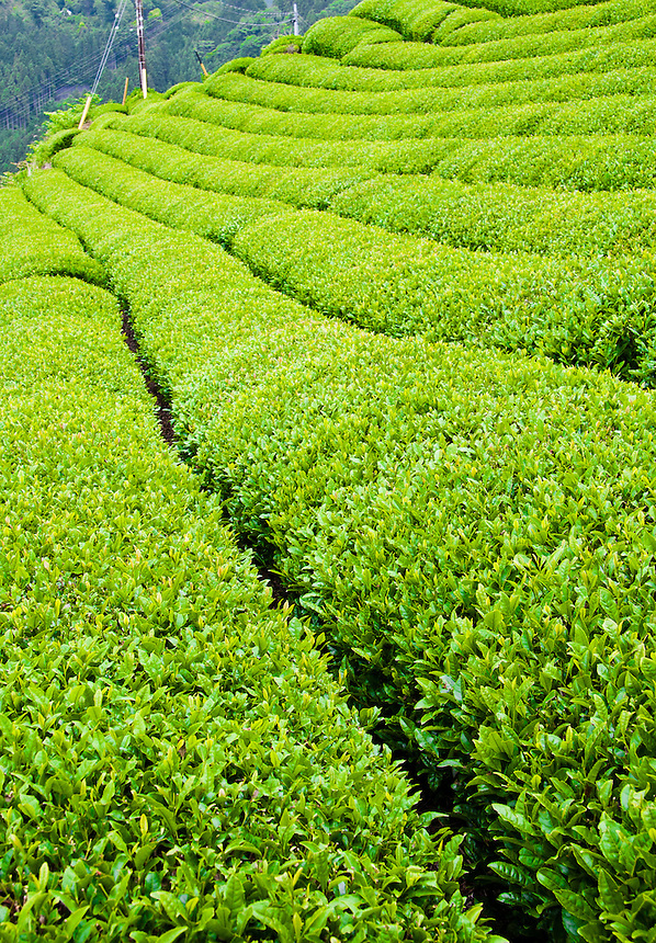 Rows of Japanese Green tea growing on the hillside in Shizuoka.