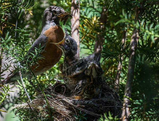 2017 Robins in the Yew in Sparks