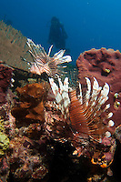 Dongala, Central Sulawesi, Indonesia, November 2010. Lion fish hover over the coral reef.  Being directly situated at the headland of the picturesque Bay of Palu, Central Sulawesi, Dongala is the perfect place to spend some time diving the cristal clear waters over the tropical coral reefs. Photo by Frits Meyst/Adventure4ever.com