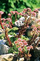 Berg-Hauswurz, Berghauswurz, Hauswurz, Sempervivum montanum, Mountain houseleek, Houseleek, Joubarbe des montagnes