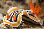 Anda, Bohol, Philippines; a Chromodorid sp. nudibranch moving across the coral reef