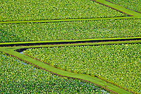 Taro fields of Hanalei, Kauai, Hawaii