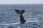 Humpback Whale.  Magnet edit by Frank Balthis