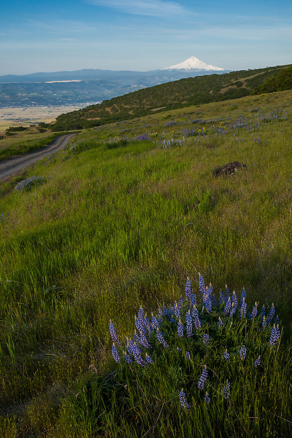 Mount Hood towers in the distance with blue-purple lupine flowers in the foreground.