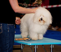 Coton de Tulear on the Judge table at the international Dog Show in Prague, May 2014.