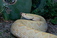 467010080 a captive albino western diamondback rattlesnake crotalus atrox senses the environment with its tongue species is native to the southwestern and western united states