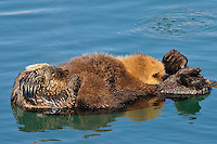 Alaskan or Northern Sea Otter (Enhydra lutris) pup nursing as it rides on moms tummy.  Alaska.