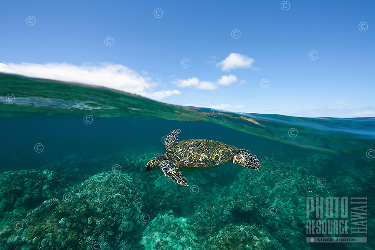 Above and below view of green sea turtle in West Maui, Hawaii.