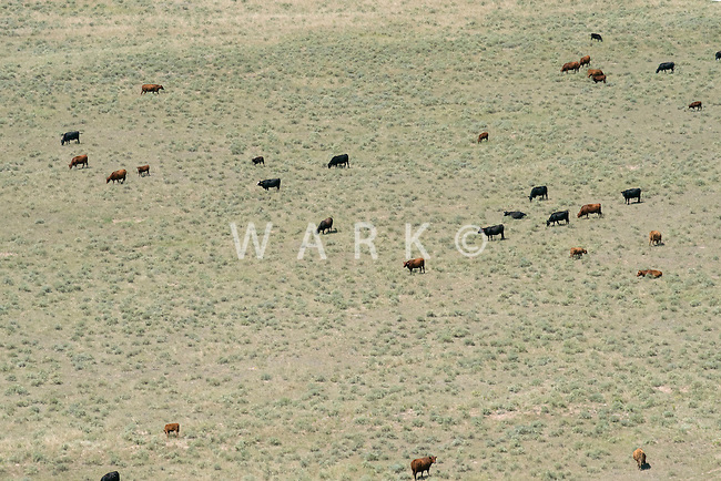 Cattle grazing on prairie. Adams County, Colorado. Aug 2014. 812936