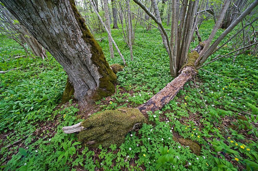 Puhtu, yellow (Anemone ranunculoides) and wood anemones (Anemone nemorosa), Matsalu Bay Nature Reserve, Estonia