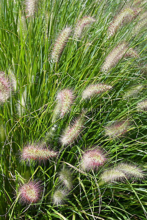 Pennisetum alopecuroides 39 hameln 39 plant flower stock for Ornamental grasses that bloom