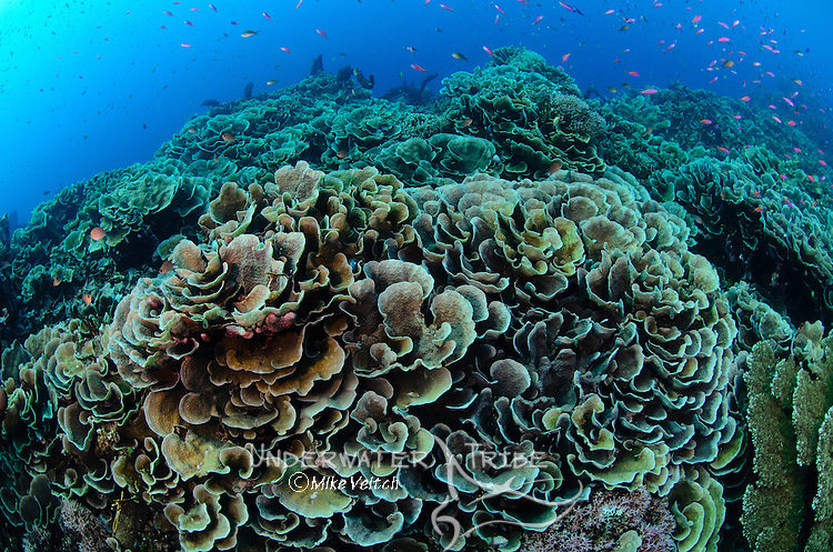 Cabbage or lettuce coral, Turbinaria reniformis?, and pink anthias, Parigi Moutong, Tomini Bay, Central Sulawesi, Indonesia, Pacific Ocean