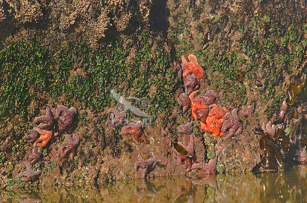 Ochre Sea Stars, lined chitons, green anemones in coastal tidal area.  Oregon coast.