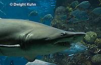 TP12-502z Sand Tiger Shark, Carcharias taurus