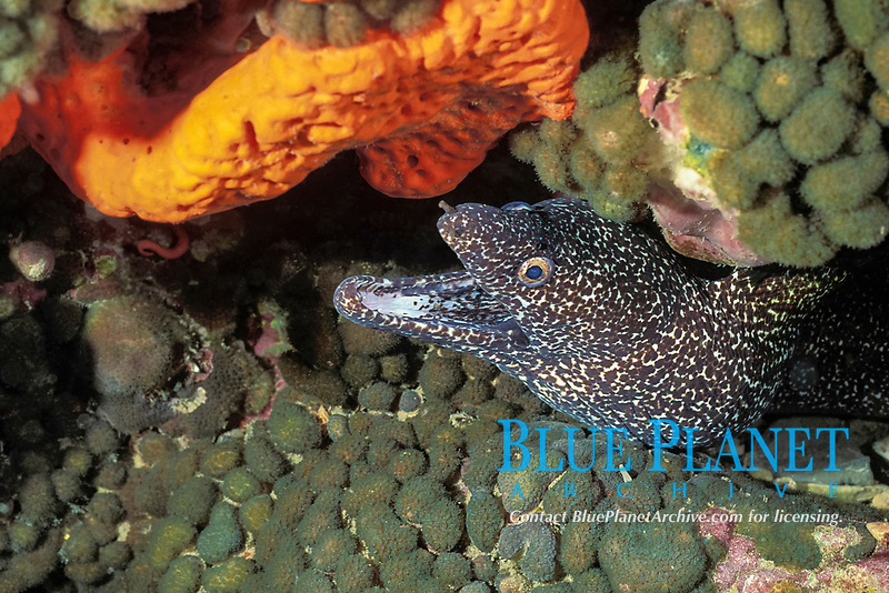 spotted moray eel, Gymnothorax moringa, Stetson Bank, Texas, Gulf of Mexico Flower Garden Banks National Marine Sanctuary