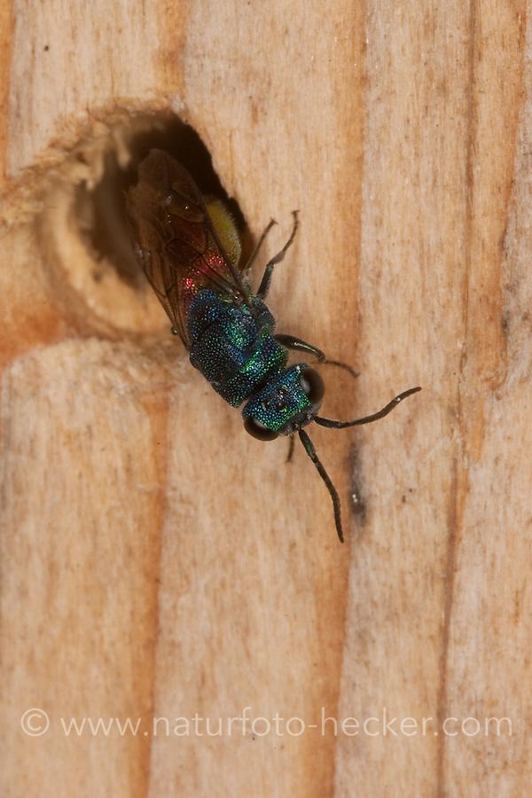 Gemeine Goldwespe, Feuer-Goldwespe, Feuergoldwespe, am Bohrloch einer Insekten-Nisthilfe, Chrysis ignita, common gold wasp, ruby-tail, ruby-tailed wasp