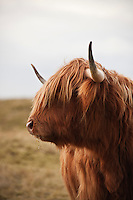Portrait of Scottish Highland Cow
