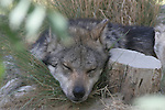 mexican wolf sleeping
