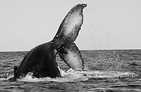 Hump_Whale_Tail