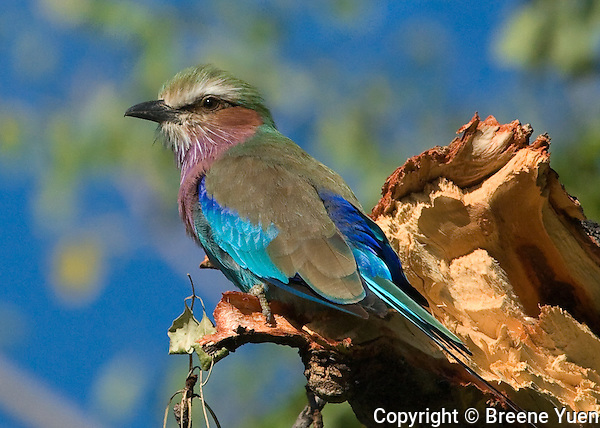 The National Bird of Botswana, the Lilac Breasted Roller, Okavango Delta, April 2008