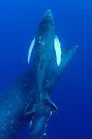 humpback whales, mother and calf, Megaptera novaeangliae, Hawaii, Pacific Ocean