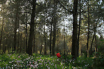 Israel, Anemone and Cyclamen flowers in Koach forest