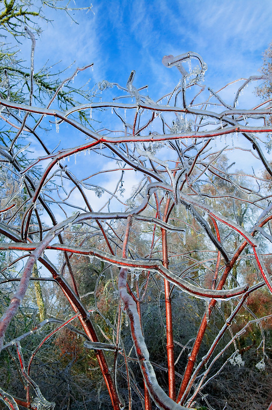 Branches with freezing rain. Near Monroe, Oregon