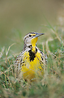 Eastern Meadowlark, Sturnella magna,adult, Starr County, Rio Grande Valley, Texas, USA, March 2002