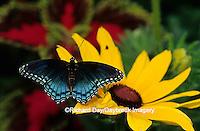 "03418-00615 Red-spotted Purple (Limenitis arthemis) on Black-eyed Susan (Rudbeckia hirta ""Indian Summer"") Marion Co.  IL"