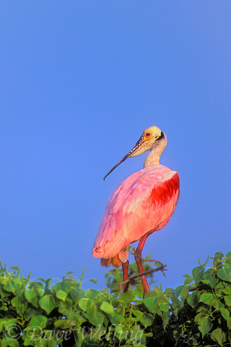 579008604v a wild roseate spoonbill ajia ajia perches in mangrove trees along an estuary on the texas gulf coast