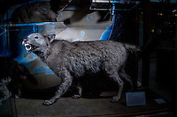 UK.  Oxford. 19th November 2015<br /> A wolf on display at the Oxford Museum of Natural History<br /> Andrew Testa for the New York Times