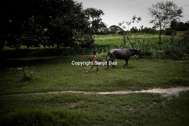 A young boy is seen walking his buffalo on barren farmlands in village Rajagaon in Block Machreta of Uttar Pradesh, India. Most of the fertile farmland is lying barren and has small grass growing because of late rains. Villagers are happy for at-least there is grass for the cattle to graze. The 4 month annual rainfall is crucial to summer sown crops as 60% of the farmlands are rainfed. North India experienced scanty rainfall in late june to july. Till August, rain in India has been 26% below 5 year average. Late rains moist the fields but it is not enough for rice, sugarcane, oilseeds and pulses. Late rains also damage the alternate crops that need less water.
