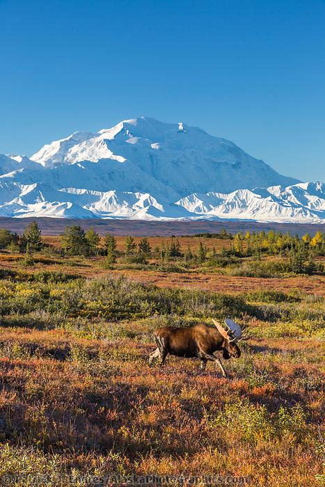 Bull moose walks across the tundra in front of Mt. Denali, Denali National Park, Alaska.
