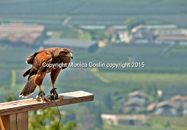 Harris hawk at Gufyland Bird Sanctuary in Dorf Tirolo near Merano, Italy; the Gufyland Bird Sanctuary provides sanctuary to injured birds, rehabilitation, and releasing birds back into the wild while also providing educational talks to the public; the bird sanctuary has been in operation since 1989