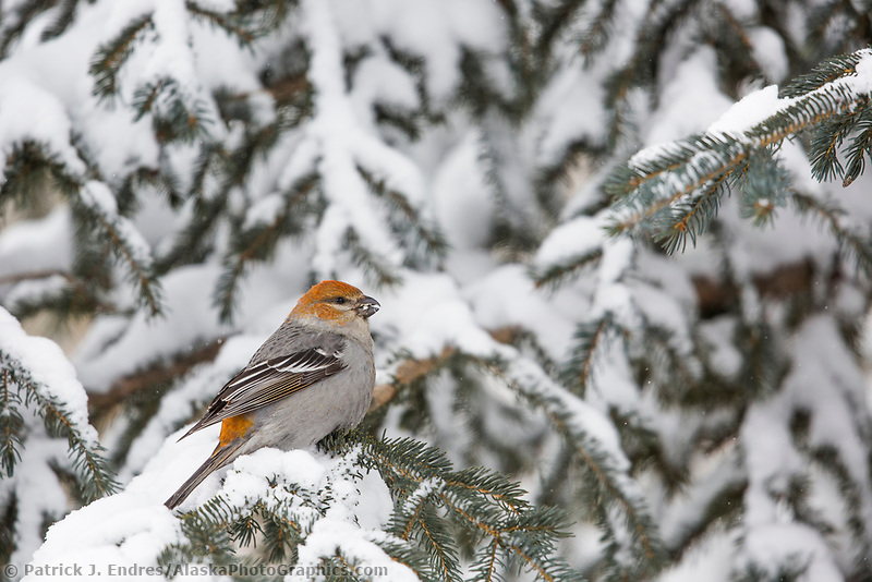 Perched on the branch of a spruce tree in winter.