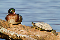 00715-07911 Wood Duck (Aix sponsa) male and Slider turtle (Trachemys scripta) sitting on log in wetland, Marion Co., IL
