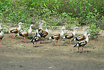 Orinoco Goose, Neochen jubata, Manu, Peru, Amazonian Jungle, group on banks of river, sandy beach, threatened. .Peru....