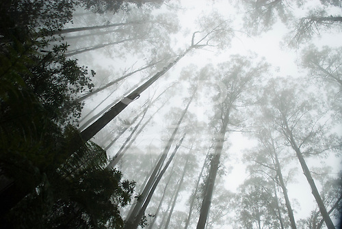 Phillip Island, Australia. Eucalyptus trees in the mist.